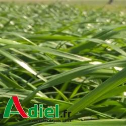 RAY GRASS HYBRIDE SAC 25 KG