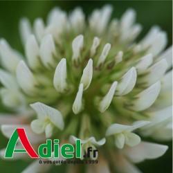 TREFLE BLANC LADINO APIS 10 KG
